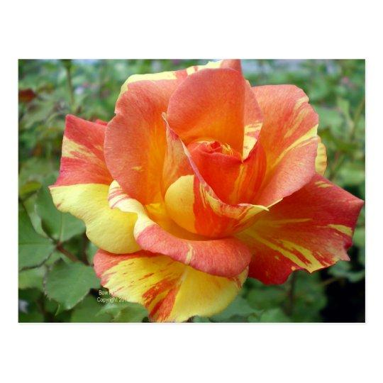 Orange and Yellow Rose  1 Postcard