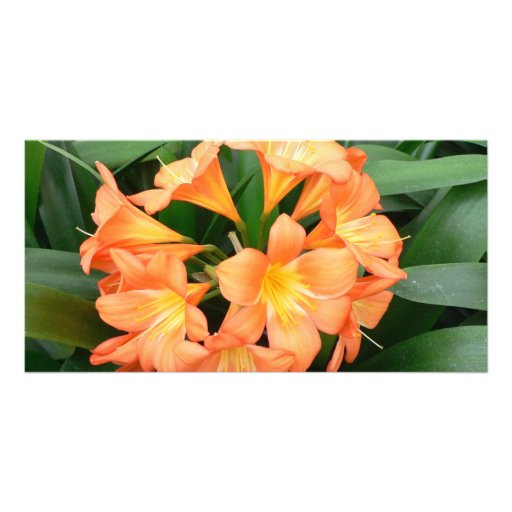 Orange Bush Lily Flower or Natal Lily Photo Cards