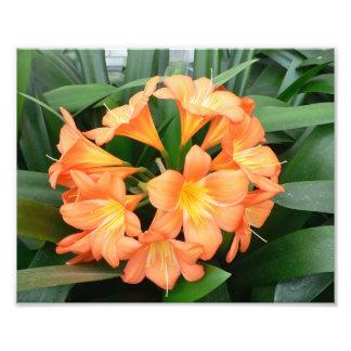 Orange Bush Lily Flower or Natal Lily Photo
