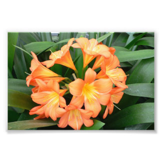 Orange Bush Lily Flower or Natal Lily Photograph