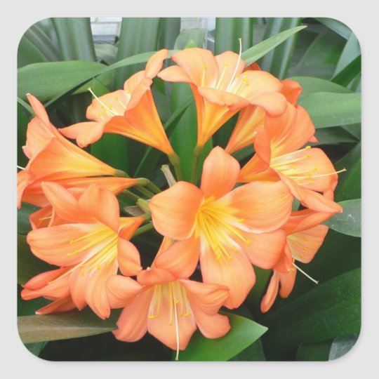 Orange Bush Lily Flower or Natal Lily Square