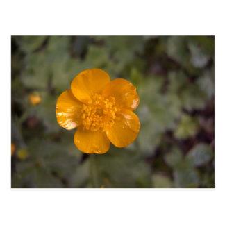 Orange buttercup 1 postcard