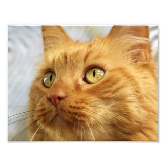 Orange Coon Cat Print Photograph