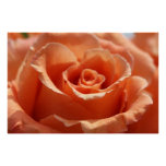 Orange Cut Rose on Canvas, Version B Print