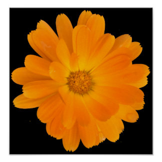 Orange Dahlia Flower on Black Background Poster