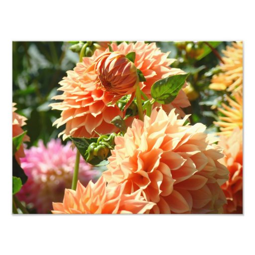 Orange Dahlia Flowers Photography prints Photograph