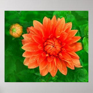 orange dahlias print