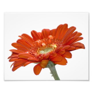 Orange Daisy Gerbera Flower Photo Art