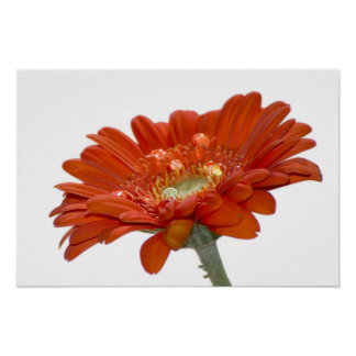 Orange Daisy Gerbera Flower Poster