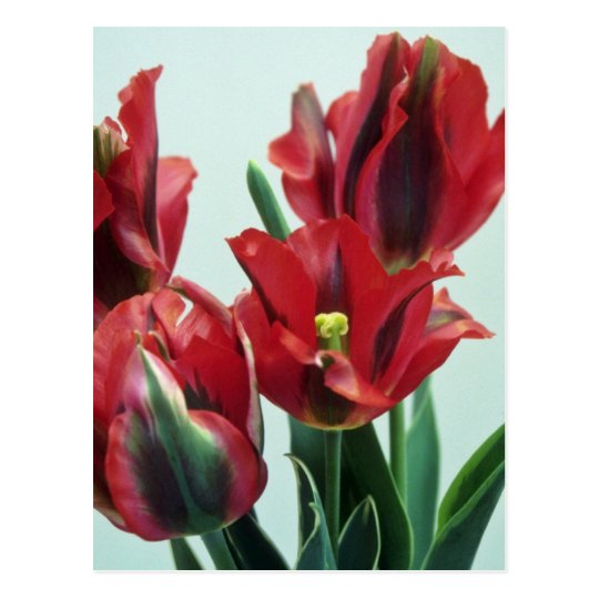 Orange Esperanto, (Tulipo Esperanto) flowers Postcard