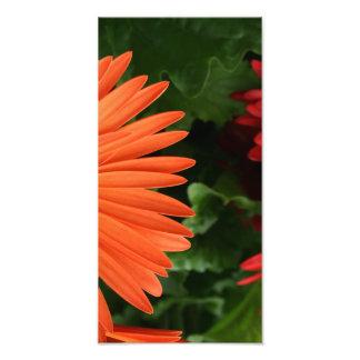 orange gerbera daisy (3 of 3) photographic print