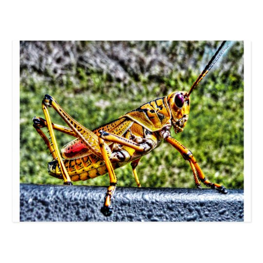 Orange Grasshopper Postcard
