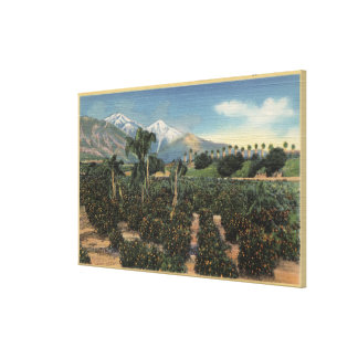 Orange Grove Scene with Snow Capped Mts Stretched Canvas Print