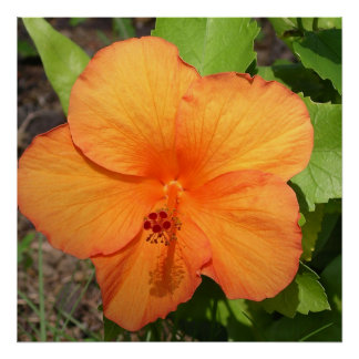 Orange Hawaiian Hibiscus Flower Poster Print