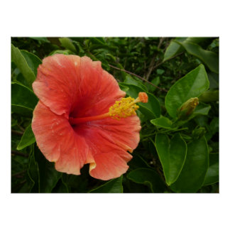 Orange Hibiscus Flower Poster