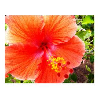 Orange Hibiscus Postcard
