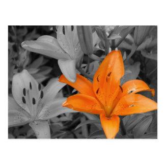 Orange Lily Hand-Colored Postcard