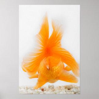 Orange lionhead goldfish (Carassius auratus) 2 Poster