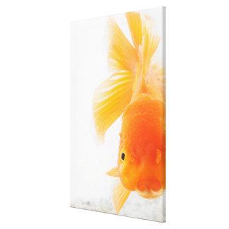 Orange lionhead goldfish (Carassius auratus) Canvas Print