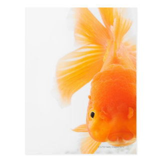 Orange lionhead goldfish (Carassius auratus) Postcard