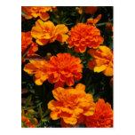 Orange Marigold Flowers  Postcard