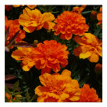 Orange Marigold Flowers Poster