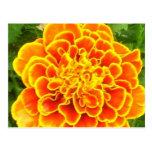 Orange Marigold Postcard