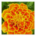 Orange Marigold Poster Print