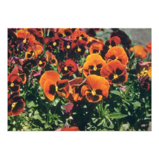 Orange Pansy Viola flowers Invitations