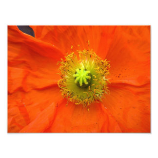 Orange poppy flower photo print