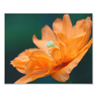 Orange poppy photographic print