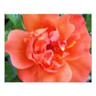 Orange Rose 11x14 Photography Print Photo Art