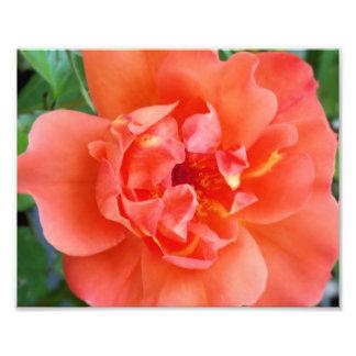 Orange Rose 8x10 Photography Print Photographic Print