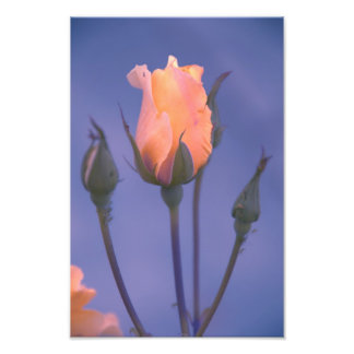 Orange rose art photo