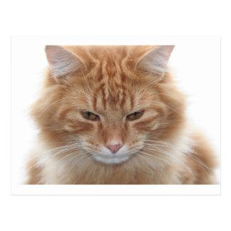 Orange Stripped Tabby Cat Postcard