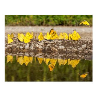 Orange Sulphur Butterflies Postcard