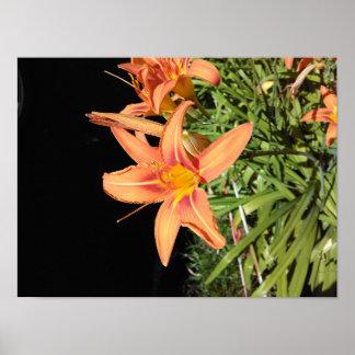 Orange Tiger Lilies Poster