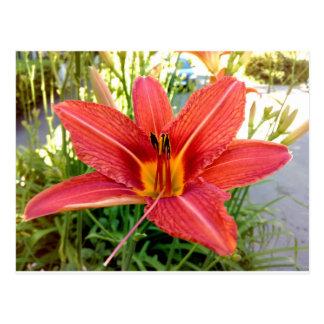 Orange Tiger Lily Postcard
