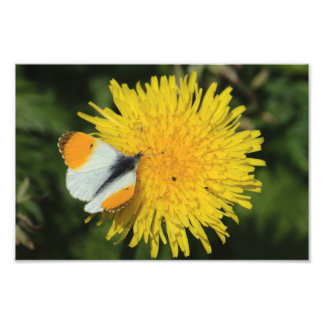 Orange Tip On Dandelion Photo Art