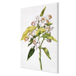 Orange tree flower, from 'La Guirlande de Julie' Canvas Print