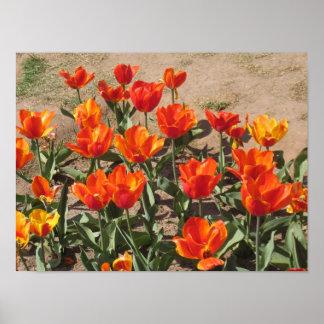 Orange Tulips Photo Poster