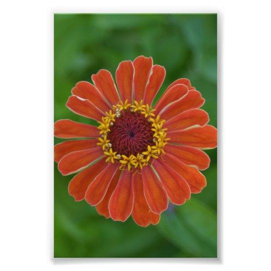 Orange Zinna flower blossom floral photography Photo