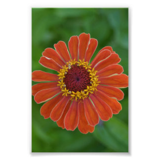 Orange Zinna flower blossom floral photography Photo Print
