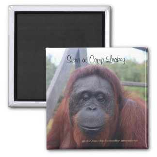 Orangutan at Camp Leakey, Kalimantan Borneo Magnet