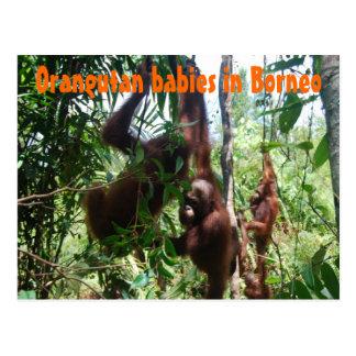 Orangutan babies in Borneo Postcards