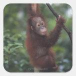 Orangutan Baby Climbing Liana Sticker