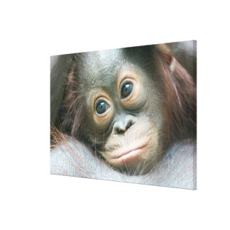 Orangutan Baby Clinging To His Mother Canvas Print