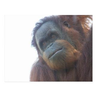 orangutan cutie postcard