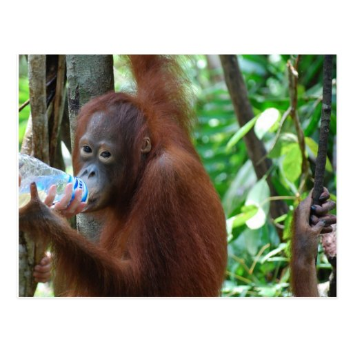Orangutan Drinks Water in Forest Post Cards