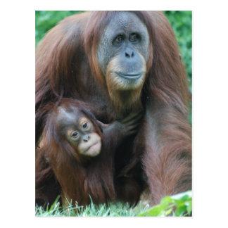 Orangutan Family  Postcard